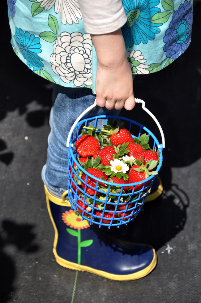 A forage of freshly picked strawberries