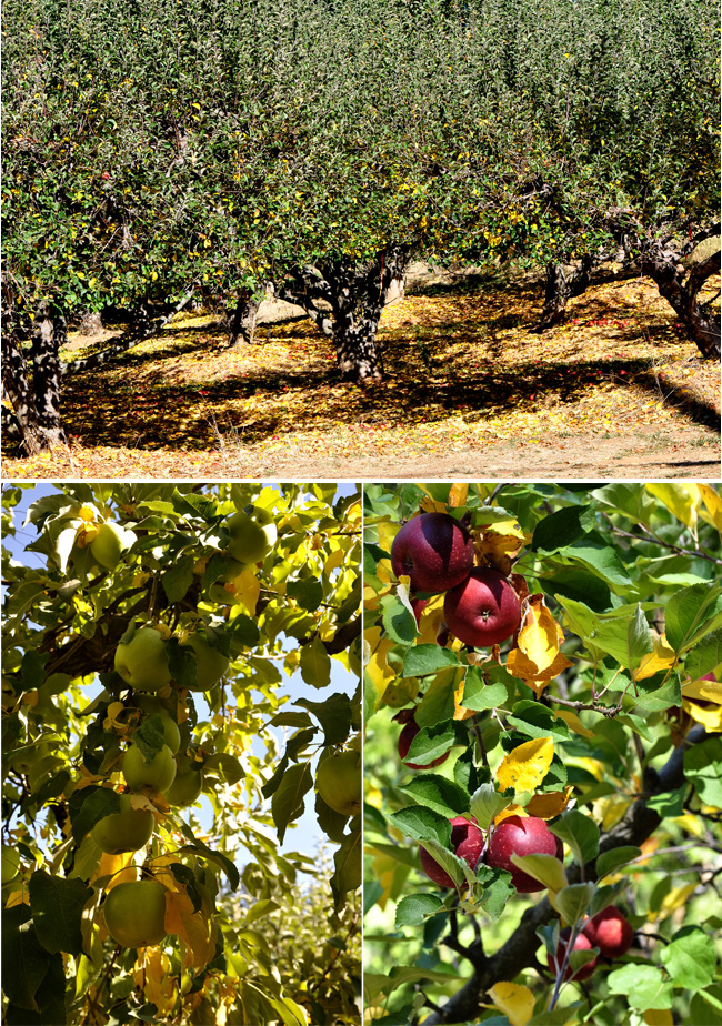 Californian apple orchards