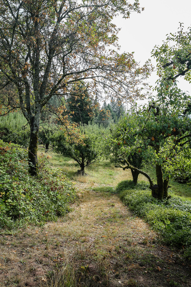 pear orchard in California